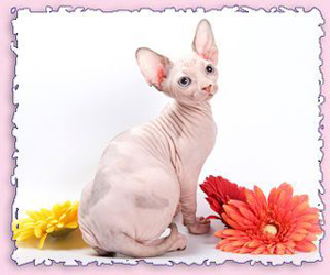 Canadian Sphynx Cattery SOLYARIS  Canadian Sphynx kittens for sale