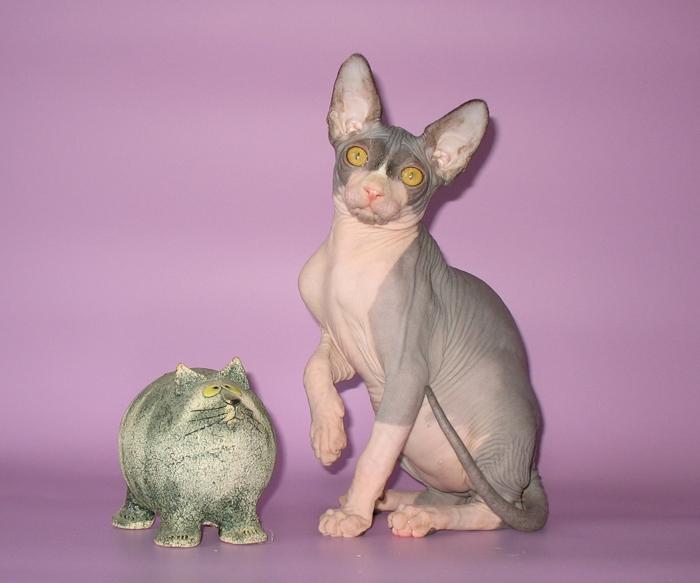 Кошки в санктпетербурге купить по выгодной цене на доске