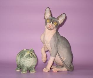Кошки. продажа Solyaris Orion Канадский Сфинкс - ШОУ.  Животные.